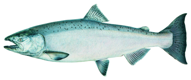 salmon_chinook