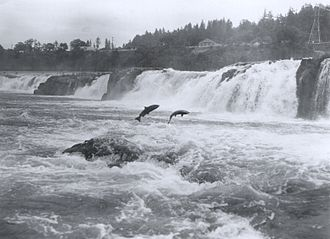 Salmon_leaping_at_Willamette_Falls